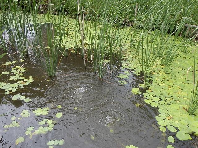 その067 水生植物を増やしたい!