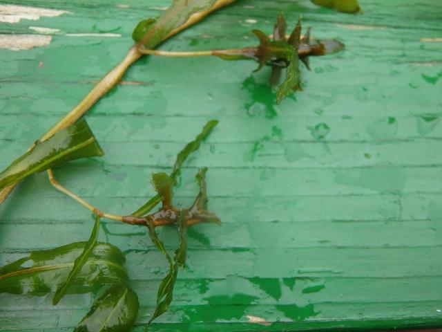 その081 水生植物