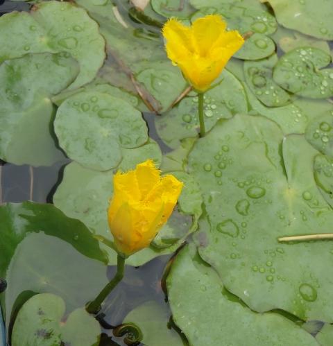 その087 水生植物・浮葉植物