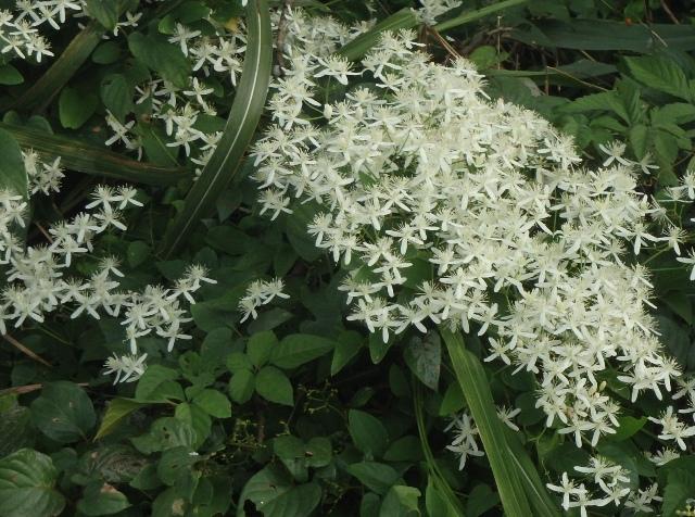 その184 水辺に咲いている白い花
