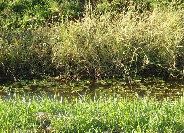 その212 水生植物のある風景